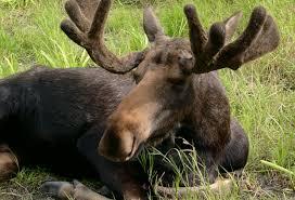 moose mystery tim zimmermann