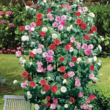 camellia flowers flowering shrubs and vines camellia tree or shrub large