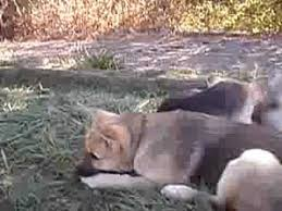 belgian shepherd timberwolf german shepherd wolf hybrid puppies youtube