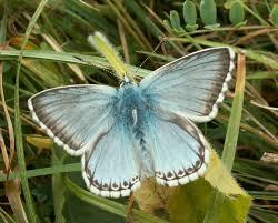 adur butterfly list 2006