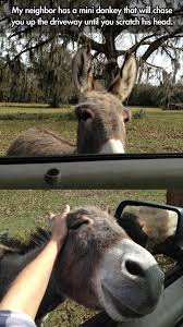 Chase You Meme - my neighbor has a mini donkey that wll chase you up the driveway