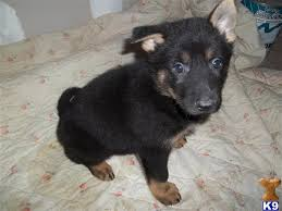 belgian sheepdog puppies for sale in pa black german shepherd puppies for sale in ohio zoe fans blog