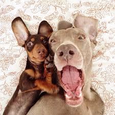 weimaraner vs afghan hound 17 reasons why you shouldn u0027t get a weimaraner
