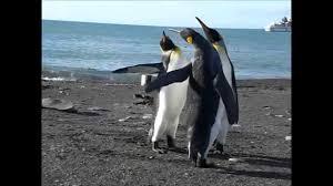 Funny Penguin Memes - funny penguin fight youtube