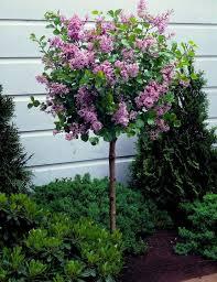 korean lilac tree syringa palibin large standard 100 120cms