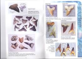 hunting guides in louisiana shark teeth 101 u2013 beach hunting tips danielle u0027s dives blog