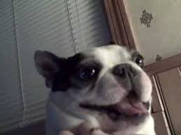 Boston Terrier Meme - boston terrier dog likes his belly tickled funny face cute