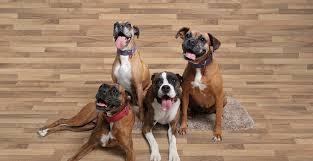 boxer dog health questions carolina boxer rescue