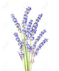 lavender flowers lavender flowers posy of aromatic medicinal herb fresh