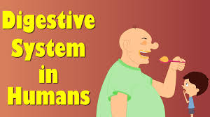 digestive system of human body youtube