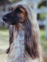 afghan hound breeders victoria breed profile
