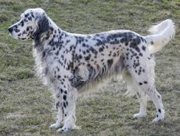 types of setter dog breeds english setters what s good about em what s bad about em
