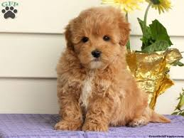 puppies for sale pa best 25 maltipoo puppies for sale ideas on maltipoo