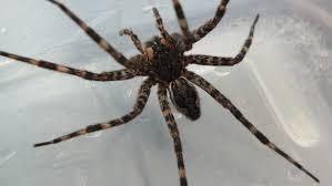 i found canada u0027s largest spider u2026 in my garage endless forms
