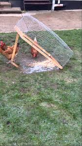 Backyard Pheasants Testing Pheasant Trap On My Chickens Youtube