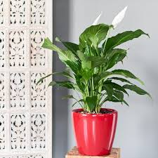 peace plant peace plant delivery shop peace lilies online my city plants