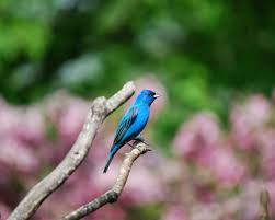 learn how to attract indigo buntings