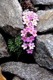 13 best plants images on pinterest alpine plants flower