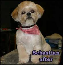 haircuts for shih tzus males axcium pet grooming dog grooming and hand stripping in atlanta ga