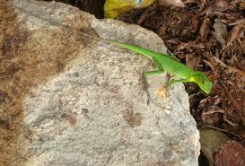 Seeking Lizard Review Open Source Species Location Data Supports Global Biodiversity