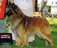 belgian sheepdog canada belgian shepherd dog puppies and breeders located in calgary