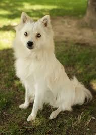pics of american eskimo dogs american eskimo dog puppy dog gallery