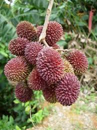 Tropical Looking Plants Very Tropical Pulasan One Of The Most Exotic Looking Fruits And