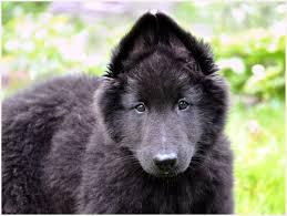 belgian sheepdog rescue uk herding puppies pictures