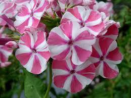 phlox flower 131 best a flower carnation dianthus sweet william phlox