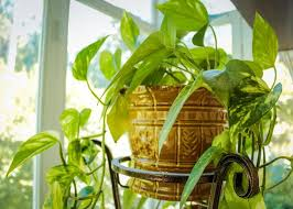 indor plants houseplant guide how to care for indoor plants the old farmer s