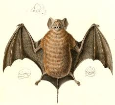 velvety free tailed bat wikipedia