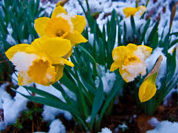 snow covered spring daffodil flowers flowers free nature