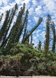 scientists solve reason pine trees point towards equator daily