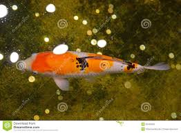 japanese koi fish in an indoor water pond stock photo image