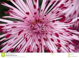 mums flower spider mum flower stock photo image 49736202