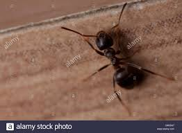 Tiny Crawling Bugs In House by Tiny Brown Ants Getpaidforphotos Com