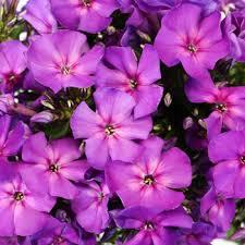 Phlox Flower Purple Phlox Flower Flower Inspiration