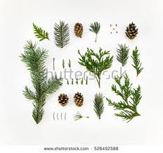 pine needles stock images royalty free images vectors