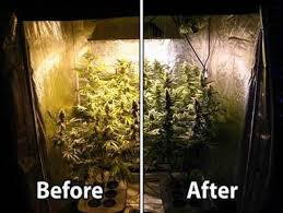 cfl lights for growing weed black light in grow weed easy scoop it