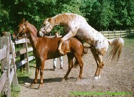 mustangs mating mating behaviour beautiful horses and