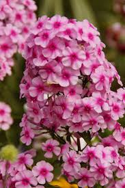 Fragrant Plants List Top 10 Fragrant Plants For A Sensory Garden Paradise Garden Pics