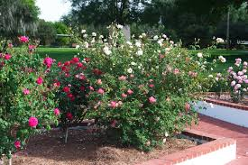 planning a new rose bed tips for starting a rose garden