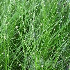 scirpus graceful grasses fiber optic grass buy fiber optic grass