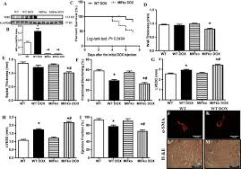 macrophage migration inhibitory factor deficiency augments