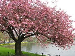 blossoms apple cherry tree home design blossom trees photo 9