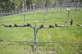 on the contrary blog archive vine wine friday grape pruning 101