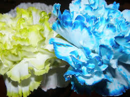 blue carnations color changing carnations recipe genius kitchen