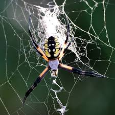 The Backyard by File Giant Spider In The Backyard Argiope Aurantia Jpg