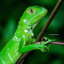 imágenes de iguanas verdes imagenes de iguana verde