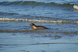 2 rehabilitated seal pups released at scusset beach sandwich